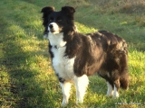 Border Collie - Angel