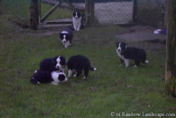 Welpen D-Wurf - Border Collies of Rainbow Landscape