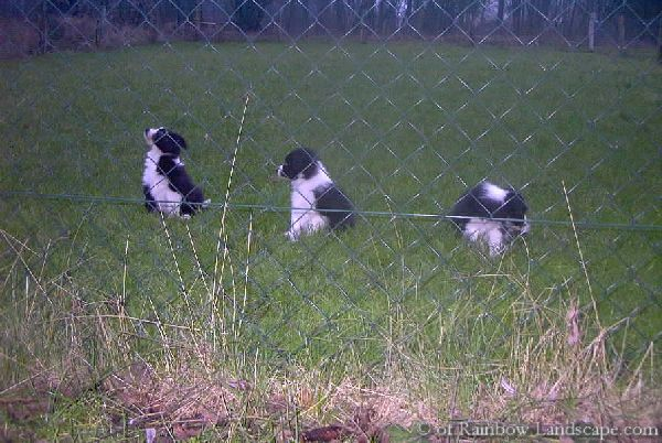D-Wurf - Border Collies of Rainbow Landscape