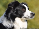 Border Collie - Diesel