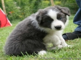 Border Collies - Ryan