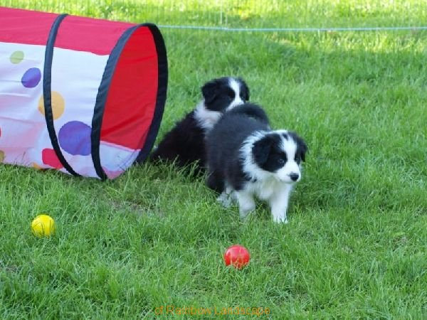 Welpen F-Wurf - Border Collies of Rainbow Landscape