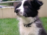 Border Collies - Sky