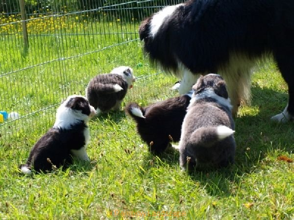 F-Wurf - Border Collies of Rainbow Landscape