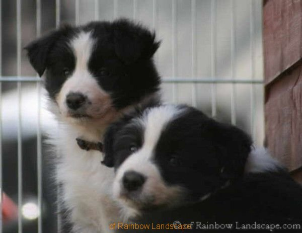 G-Wurf - Border Collies of Rainbow Landscape