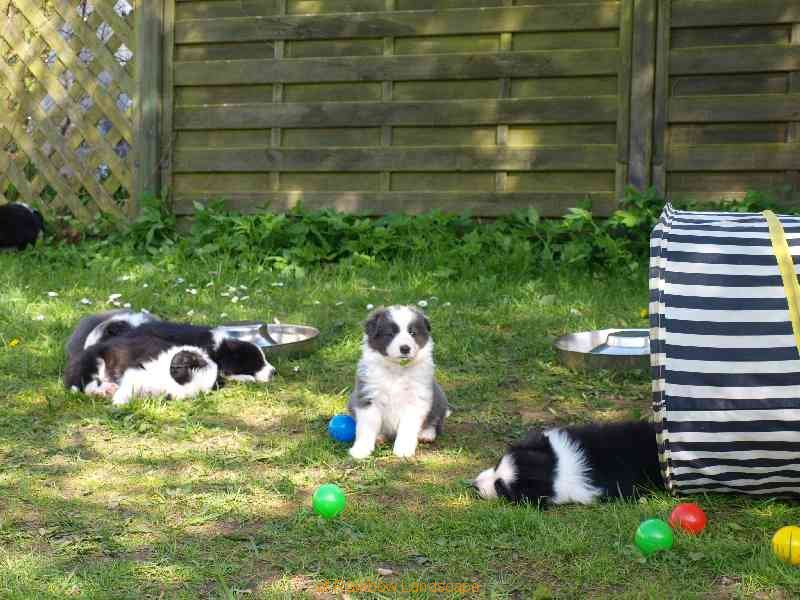 Welpen H-Wurf - Border Collies of Rainbow Landscape