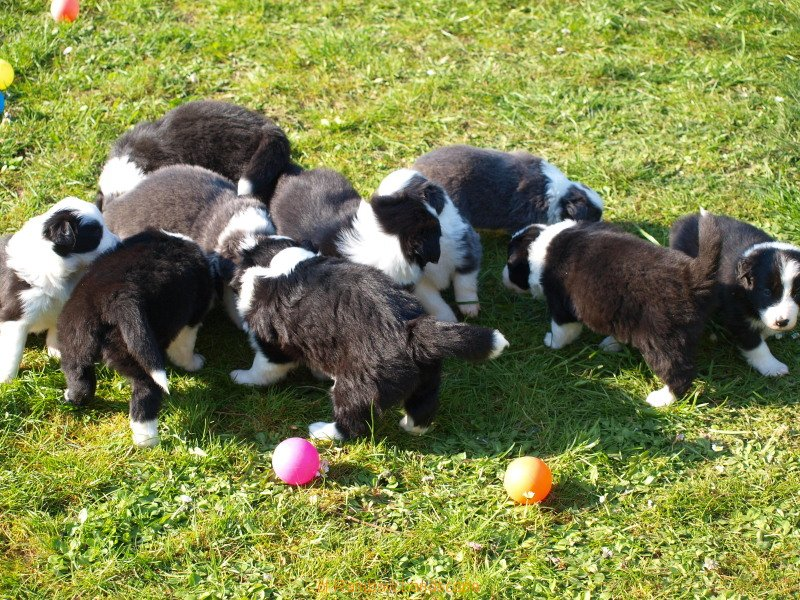 H-Wurf - Border Collies of Rainbow Landscape