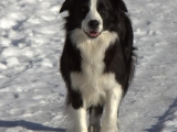 Border Collie - Willow