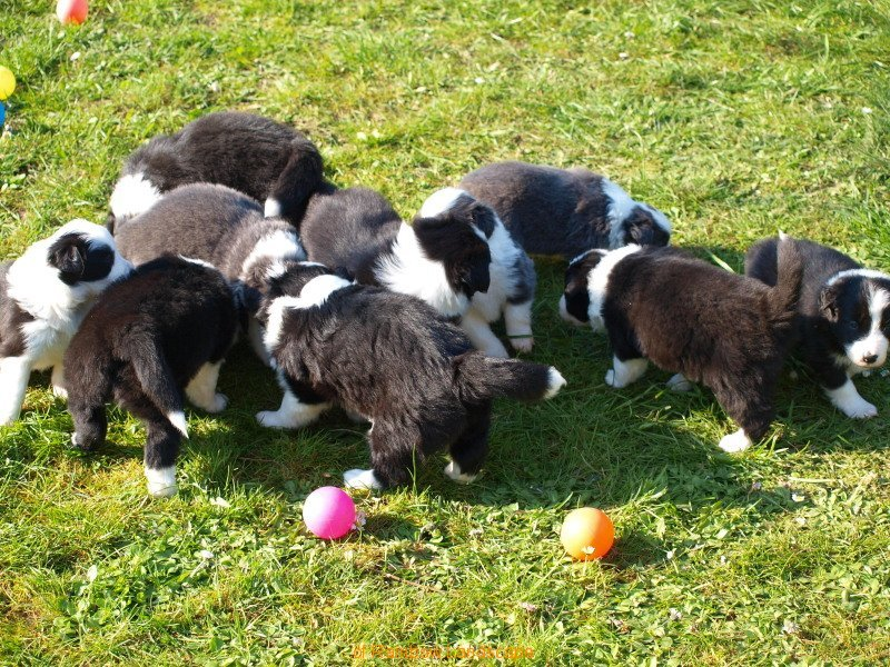 Welpen I-Wurf - Border Collies of Rainbow Landscape