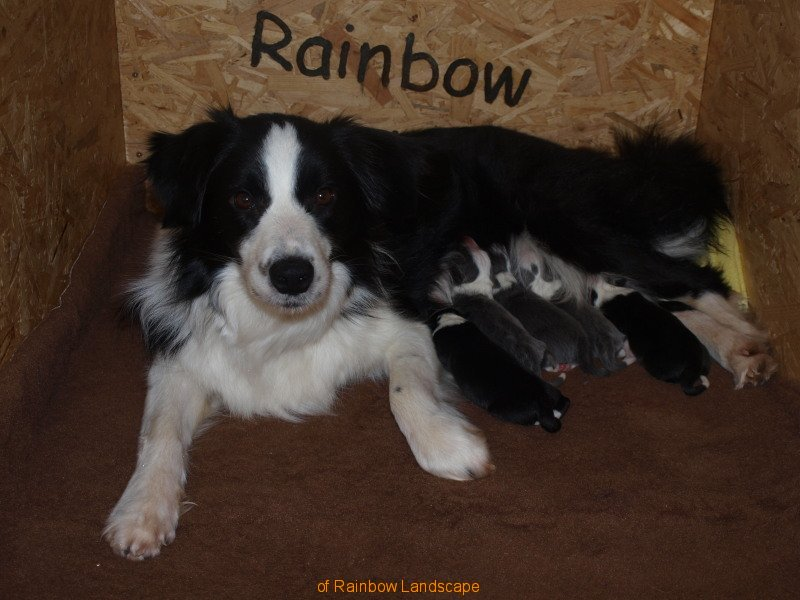 I-Wurf - Border Collies of Rainbow Landscape