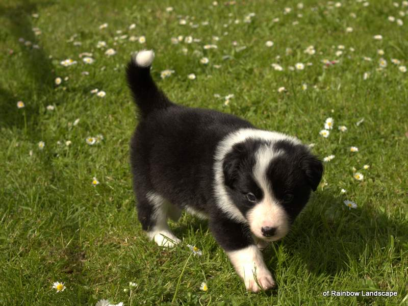 Welpen Border Collies of Rainbow Landscape - J-Wurf