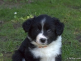 Border Collie - Fay