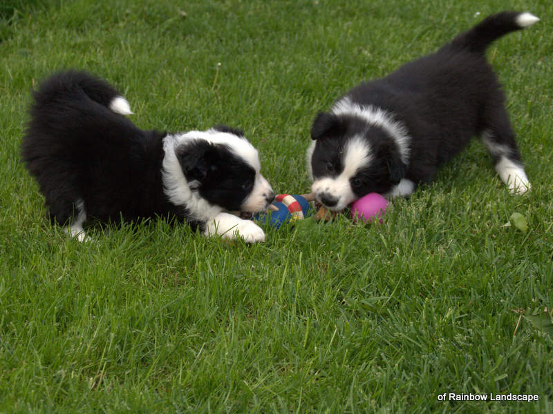 Welpen Border Collies of Rainbow Landscape - K-Wurf