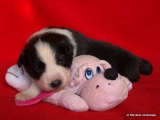 Border Collie Welpe - Ryan