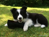 Border Collie Welpe - Willow