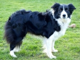 Border Collie - Nele