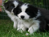 Border Collie - Page